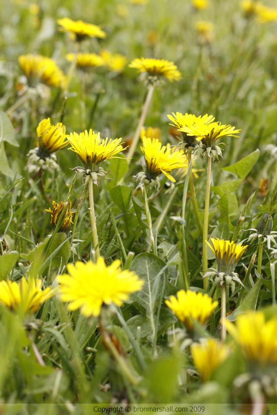 Dandelion Lawn